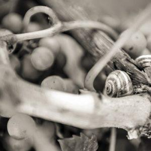 vigne-raisin-chateau-le-clos-du-notaire